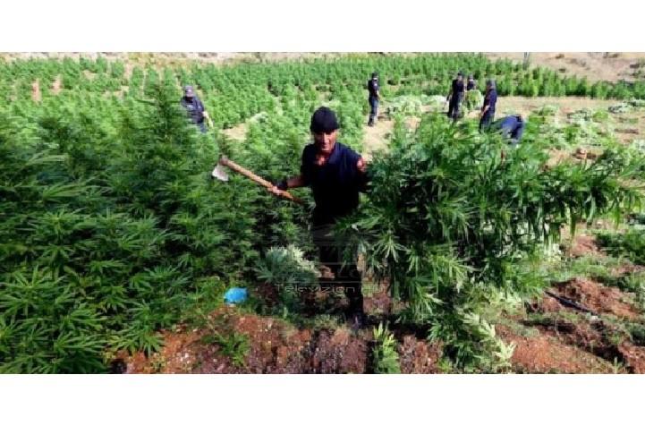 Zyra globale e Kombeve të Bashkuara për Krimin dhe Drogat (UNODC) ka zbuluar një raport mbi drogën për vitin 2021, e cila e vendos Shqipërinë për periudhën 2015-2019, në vendin e gjashtë për origjinën e kanabisit.