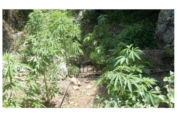 Kultivonin bimë narkotike, në pranga dy autoret.