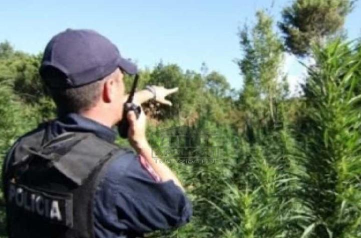 SHÇBA nis hetimet për 20 zyrtarë të Policisë së Elbasanit, kanë lejuar trafikantët të mbjellin drogë, mbështeten nga persona me pushtet